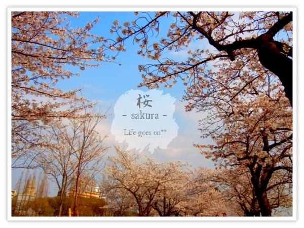 Oo。。 桜2012 1  。。oO_b0155684_1839078.jpg
