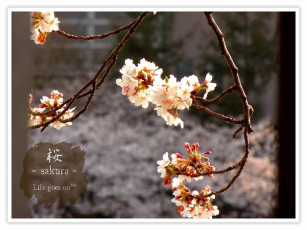 Oo。。 桜2012 1  。。oO_b0155684_1839395.jpg