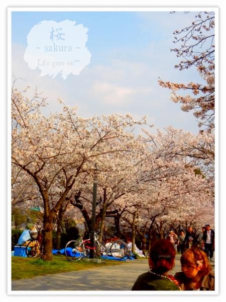 Oo。。 桜2012 1  。。oO_b0155684_1839571.jpg