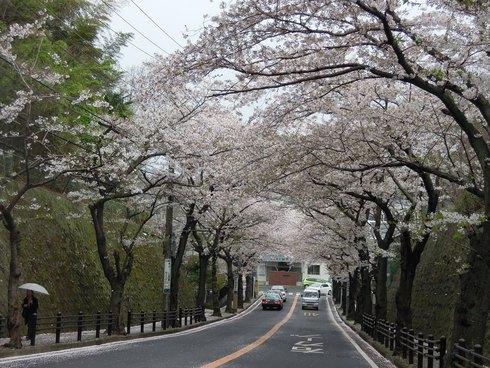 逗子の桜 & 対面キッチン_e0190287_156975.jpg