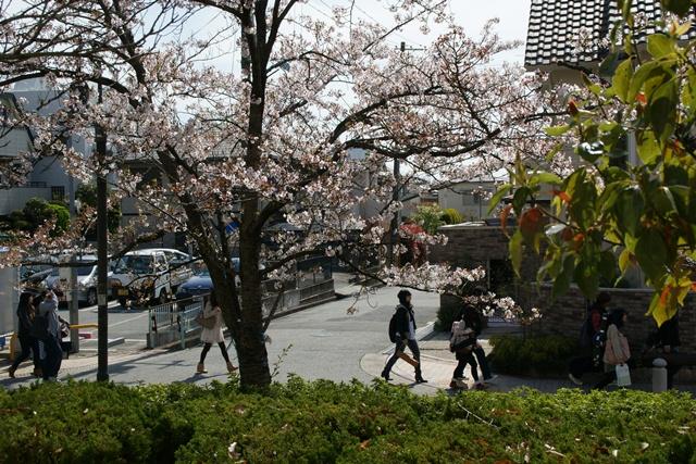 素敵な桜をさがして・・・関西学院大学の桜、夙川の桜、王子動物園の桜、九州の桜、お城の桜(3/7)_d0181492_21441517.jpg