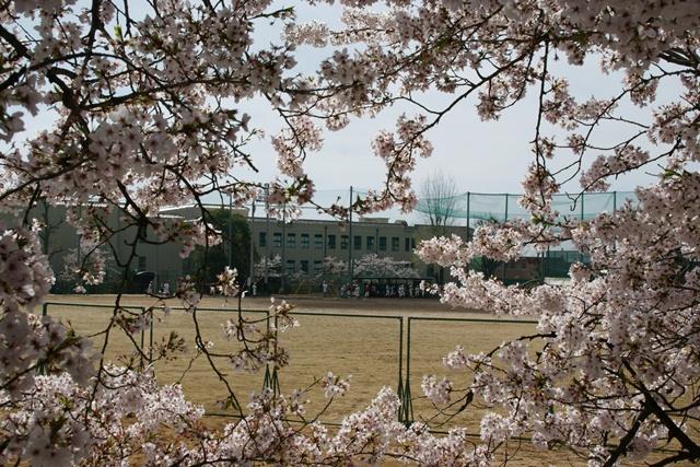 素敵な桜をさがして・・・関西学院大学の桜、夙川の桜、王子動物園の桜、九州の桜、お城の桜(3/7)_d0181492_21444031.jpg