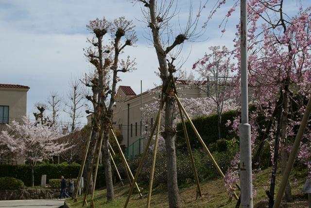 素敵な桜をさがして・・・関西学院大学の桜、夙川の桜、王子動物園の桜、九州の桜、お城の桜(3/7)_d0181492_21471882.jpg