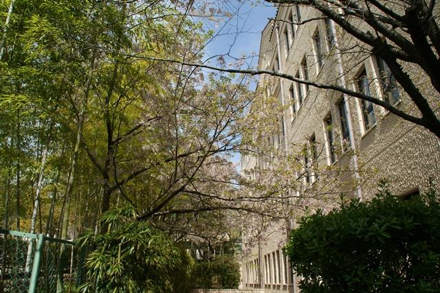 素敵な桜をさがして・・・関西学院大学の桜、夙川の桜、王子動物園の桜、九州の桜、お城の桜(3/7)_d0181492_21483246.jpg