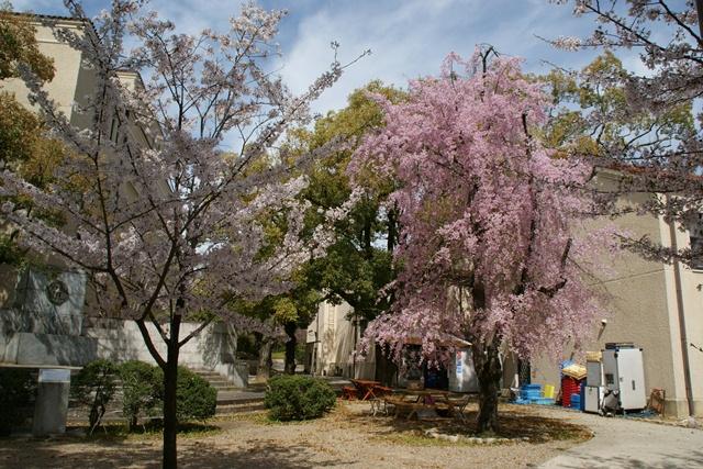 素敵な桜をさがして・・・関西学院大学の桜、夙川の桜、王子動物園の桜、九州の桜、お城の桜(3/7)_d0181492_21564362.jpg