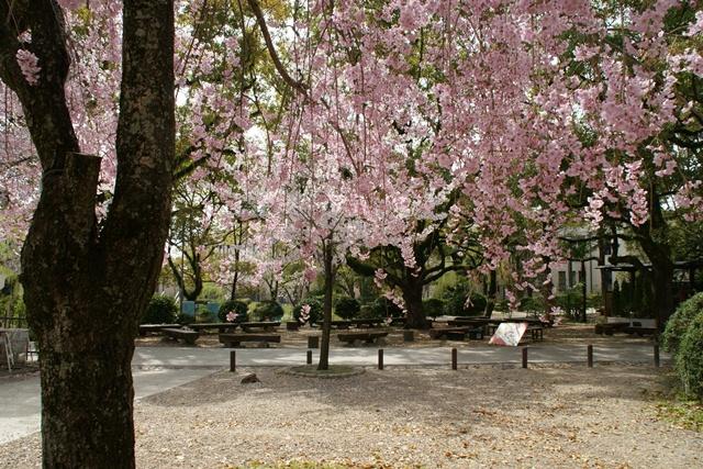 素敵な桜をさがして・・・関西学院大学の桜、夙川の桜、王子動物園の桜、九州の桜、お城の桜(3/7)_d0181492_21572275.jpg