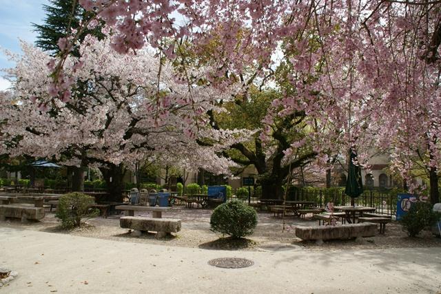 素敵な桜をさがして・・・関西学院大学の桜、夙川の桜、王子動物園の桜、九州の桜、お城の桜(3/7)_d0181492_21573512.jpg