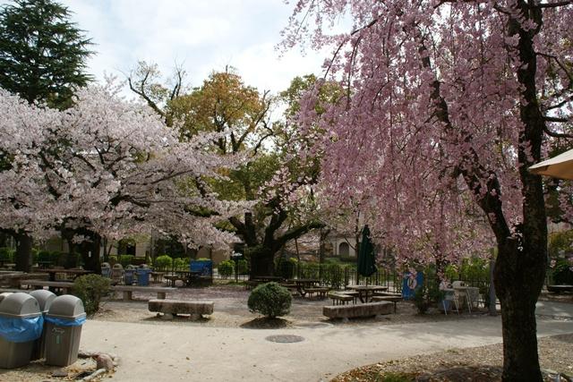 素敵な桜をさがして・・・関西学院大学の桜、夙川の桜、王子動物園の桜、九州の桜、お城の桜(3/7)_d0181492_21581621.jpg
