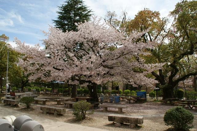 素敵な桜をさがして・・・関西学院大学の桜、夙川の桜、王子動物園の桜、九州の桜、お城の桜(3/7)_d0181492_2158312.jpg
