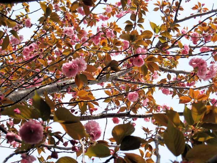 八重桜_e0016894_15175469.jpg