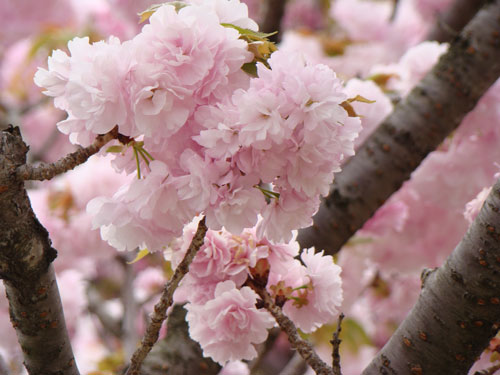 広島造幣局の桜_a0047200_8255051.jpg