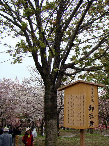広島造幣局の桜_a0047200_826070.jpg