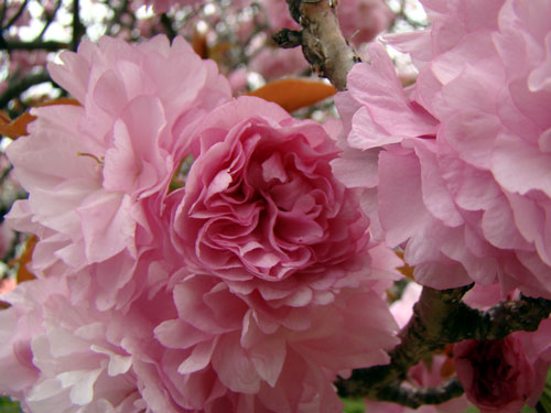 広島造幣局の桜_a0047200_8261581.jpg