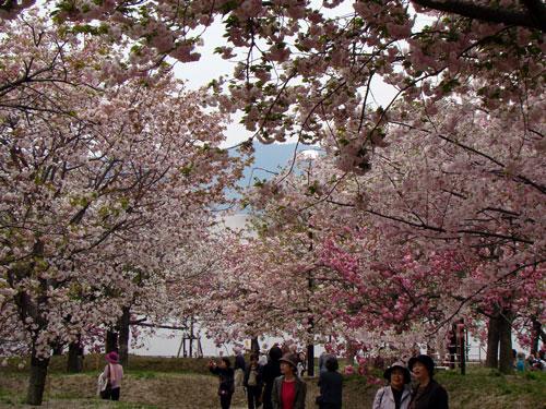 広島造幣局の桜_a0047200_8262098.jpg