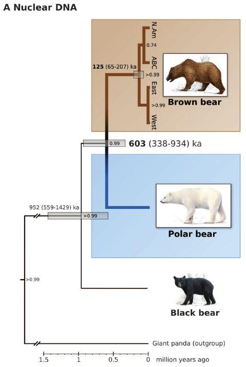 シロクマとヒグマの分岐は考えられていたよりずっと古かった_c0025115_2025458.jpg