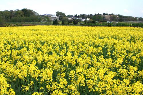 菜の花畑_d0150720_7144299.jpg