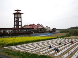 トウモロコシ畑と菜の花_d0120421_12222476.jpg
