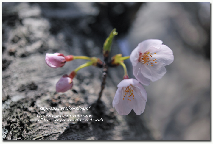 SAKURA 2012 ~春ほころぶ~_f0235723_2003984.jpg