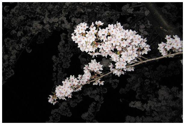 夜桜_c0042324_1051290.jpg