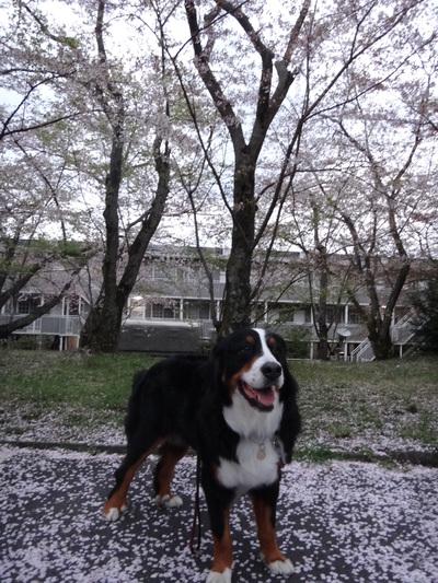 夜桜は、三井寺へ_e0270846_22275274.jpg