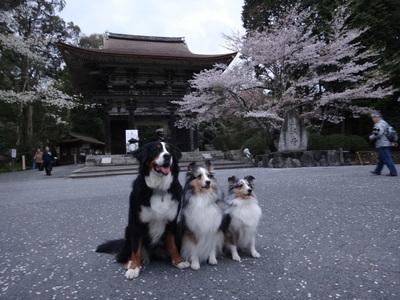夜桜は、三井寺へ_e0270846_22311178.jpg