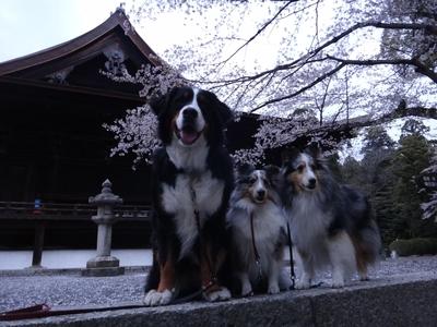 夜桜は、三井寺へ_e0270846_22404183.jpg