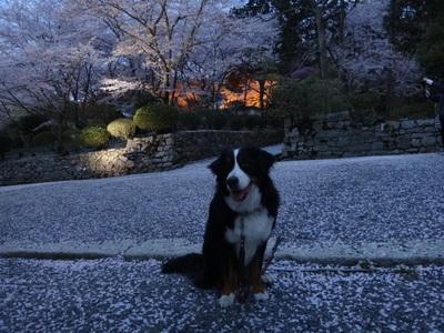 夜桜は、三井寺へ_e0270846_22445949.jpg