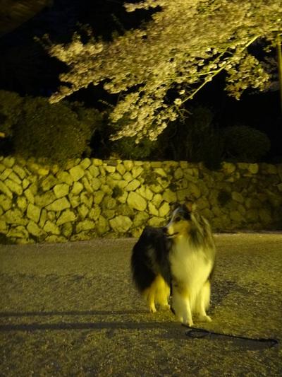 夜桜は、三井寺へ_e0270846_22543666.jpg