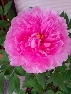 牡丹が咲きました。開花日は昨年と同じ4月19日_f0138653_10424258.jpg