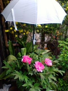 牡丹が咲きました。開花日は昨年と同じ4月19日_f0138653_1334061.jpg