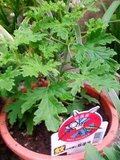 蚊連草(蚊よけ植物、かれんそう)_f0138653_1851052.jpg