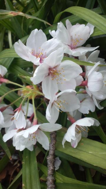 名残の桜。。。微笑んで。。。 。・*。゚。..。♬☆*†_a0053662_8301426.jpg
