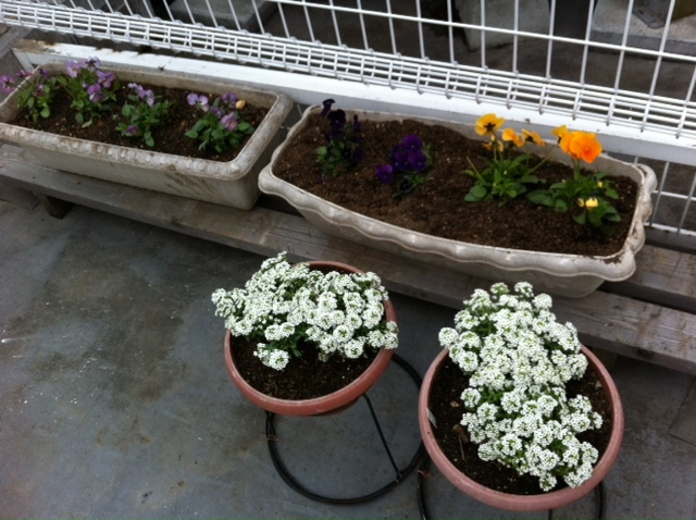 プランターの花植え_f0165190_21344425.jpg
