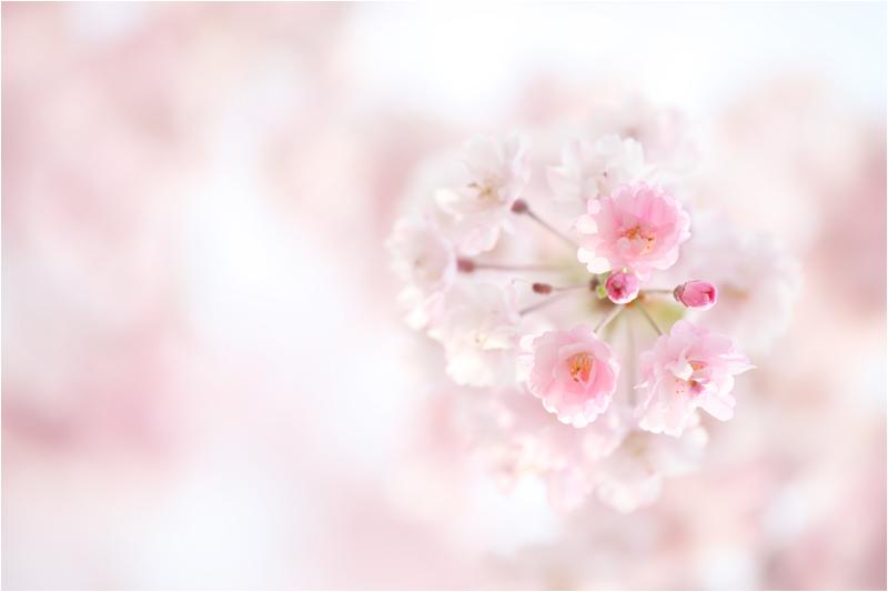 野川公園の桜_e0031502_11542623.jpg