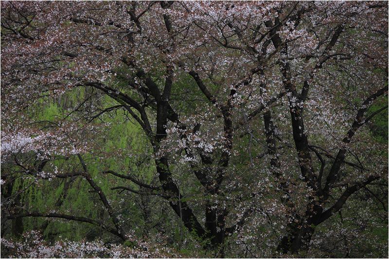 野川公園の桜_e0031502_1155279.jpg
