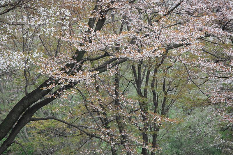 野川公園の桜_e0031502_1155646.jpg
