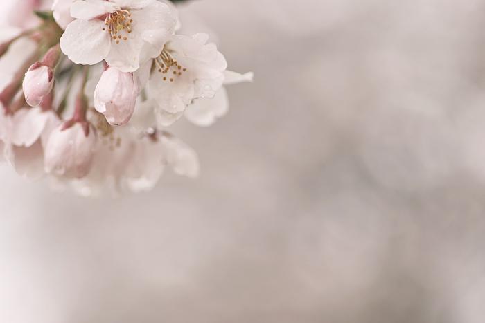桜色 #2_d0127209_215442.jpg