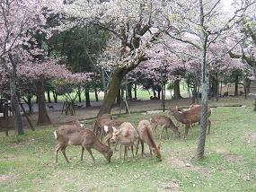桜名所めぐり 奈良公園_d0227610_1754232.jpg