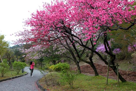 京都国際会議場 桜とツツジ_e0048413_20181894.jpg