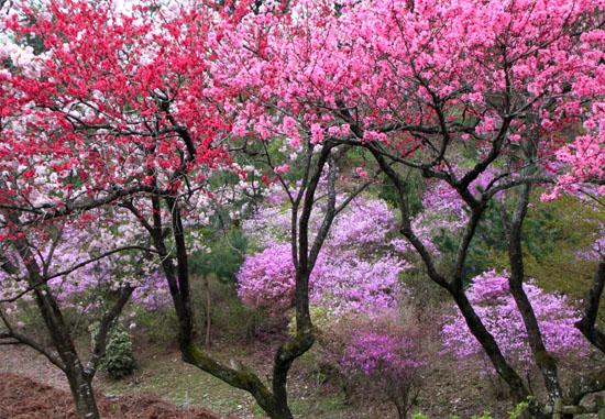 京都国際会議場 桜とツツジ_e0048413_20183215.jpg