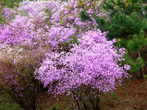 京都国際会議場 桜とツツジ_e0048413_2019633.jpg