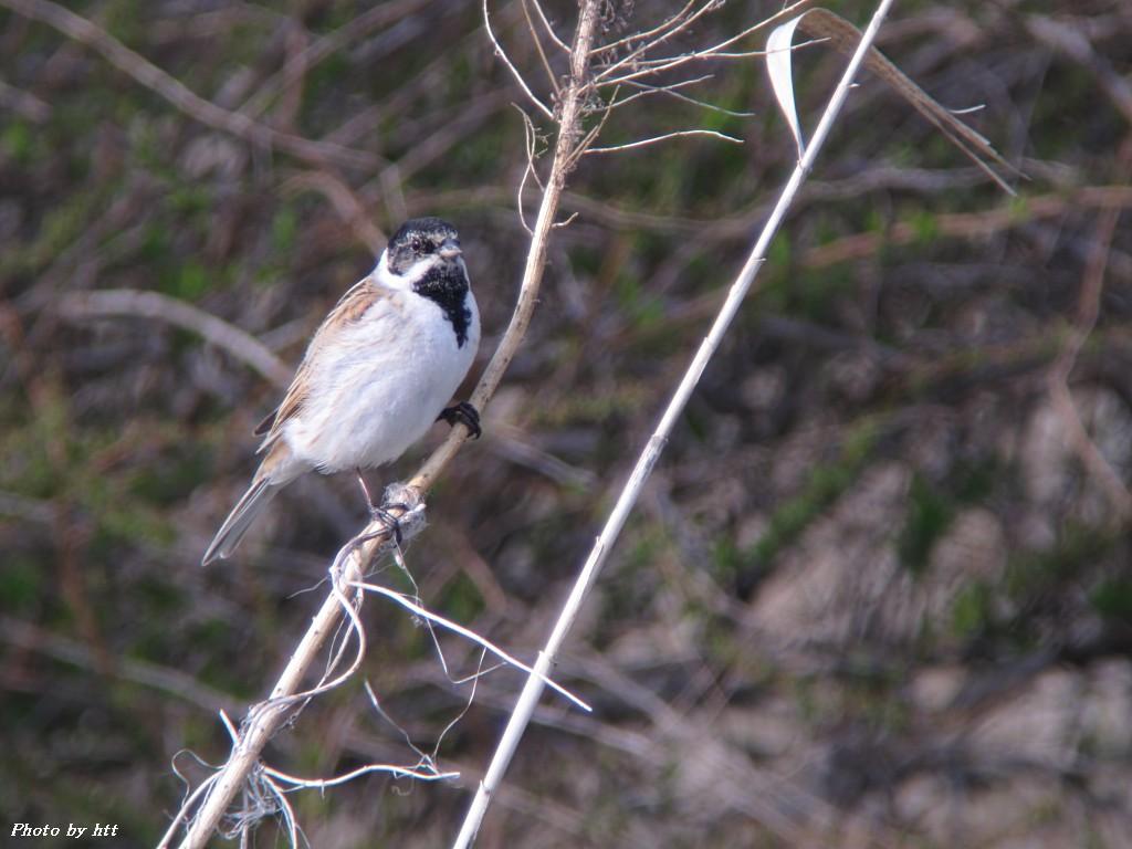 2012年4月18日 江合川その2 ~ノビタキ以外の野鳥達~_f0148627_16205471.jpg