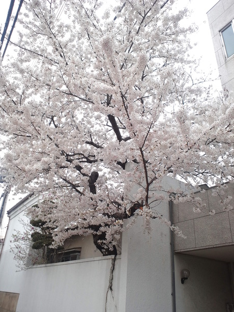 桜も終わりですね_d0164135_233423.jpg
