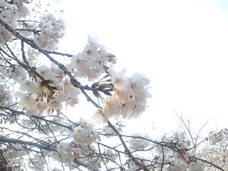 桜も終わりですね_d0164135_2335453.jpg