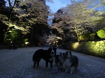 夜桜は、三井寺へ_e0270846_014066.jpg