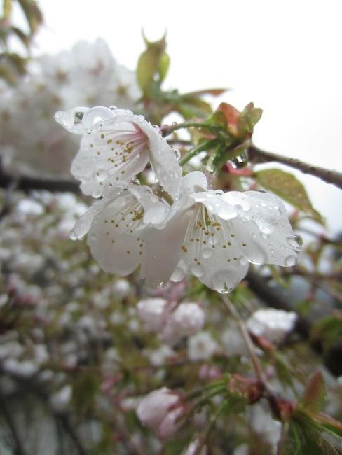 春の楽しみ_d0231263_21485948.jpg