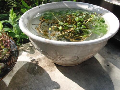陶器のメダカ鉢_b0205379_13243527.jpg
