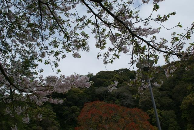 素敵な桜をさがして・・・地獄の桜、王子動物園の桜、青い森鉄道、九州の桜、お城の桜(6/7)_d0181492_21141621.jpg