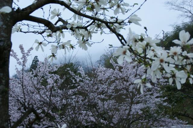 素敵な桜をさがして・・・地獄の桜、王子動物園の桜、青い森鉄道、九州の桜、お城の桜(6/7)_d0181492_2141822.jpg
