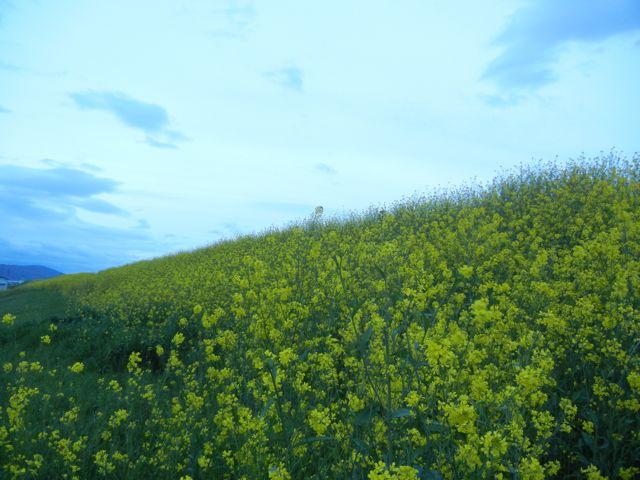 4/21(土) 三島江へ『菜の花』と『レンゲ』を見に行って来ました〜_a0059812_2105058.jpg